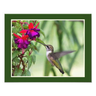 Hummingbird and Fuchsia Photo Print