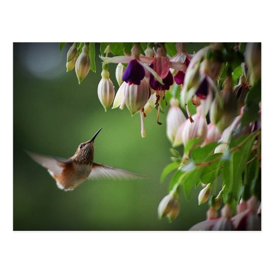 Hummingbird And Fushia Flower Plant Postcard