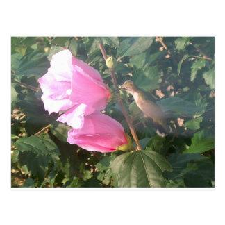 Hummingbird and Rose of Sharon Post Card