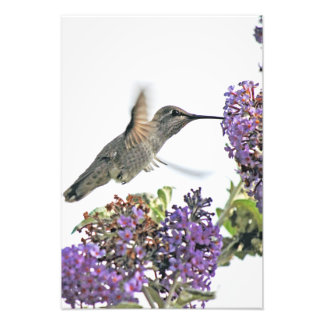 Hummingbird at butterfly bush photographic print