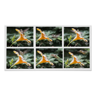 Hummingbird at Day Lily with White Border Print