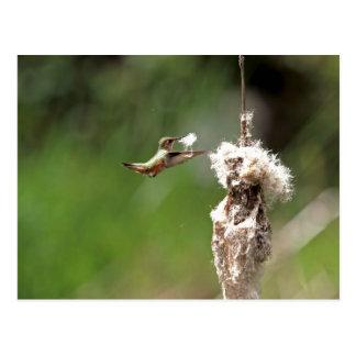 Hummingbird Building a Nest Postcard