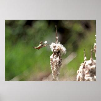 Hummingbird Building a Nest Poster