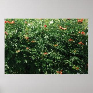 Hummingbird bush poster