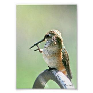 Hummingbird Cleaning Beak Photo Print