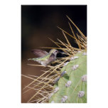 Hummingbird Gathering Nest Material Posters