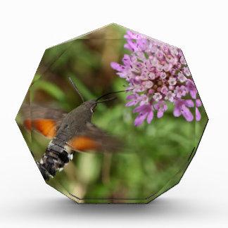 Hummingbird hawk-moth (Macroglossum stellatarum) Acrylic Award