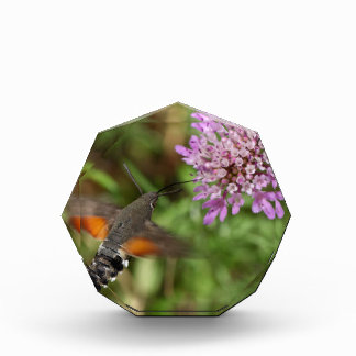 Hummingbird hawk-moth (Macroglossum stellatarum) Award