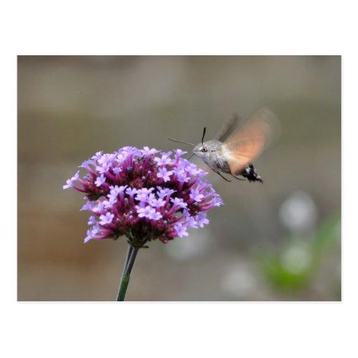 Hummingbird hawk-moth postcard