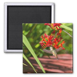 Hummingbird hovering over red Crocosmia feeding Magnet