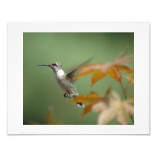 Hummingbird in a Japanese Maple Tree Photo Print
