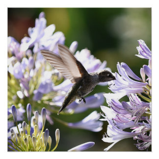 Hummingbird In Flight Poster