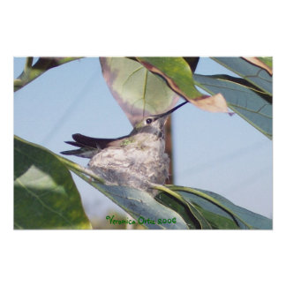 Hummingbird in Nest Poster