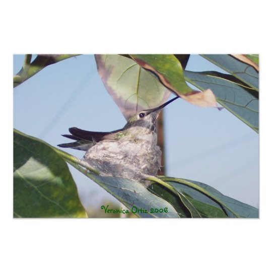 Hummingbird in Nest Poster