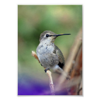 Hummingbird in the Princess Tree Poster
