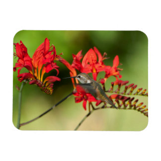 Hummingbird Lovers Delight Magnet