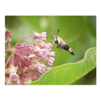 Hummingbird Moth on Milkweed Flowers Postcard