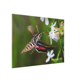 Hummingbird Moth Premium Wrapped Canvas Stretched Canvas Print
