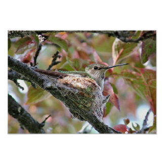 Hummingbird mother on nest - Print