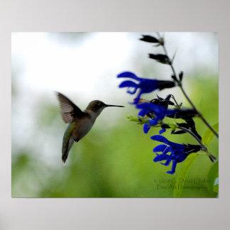 Hummingbird on Blue Salvia Poster