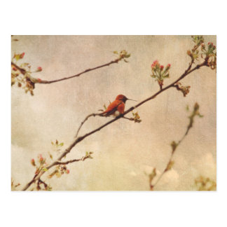 Hummingbird on Flowering Cherry Tree Postcard