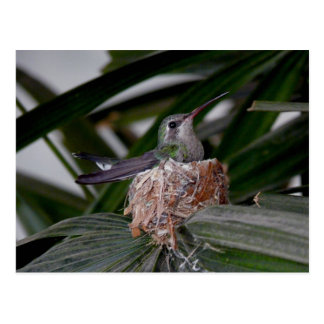 Hummingbird on nest Postcard