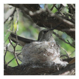 Hummingbird on Nest Perfect Poster