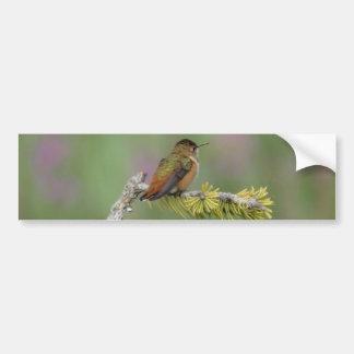 Hummingbird on pine car bumper sticker