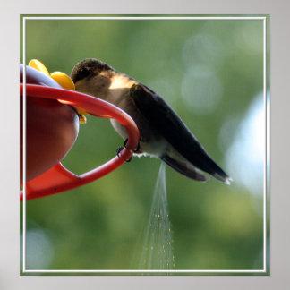 Hummingbird Poop! Posters