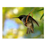 Hummingbird - Postcard