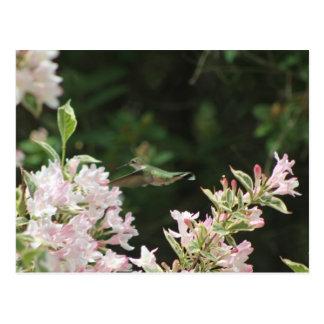 Hummingbird Postcard1 Postcard