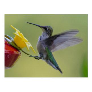 Hummingbird Ready to Eat Postcard