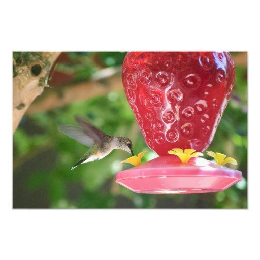 Hummingbird Sipping Photographic Print