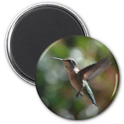 Hummingbird, standard magnet