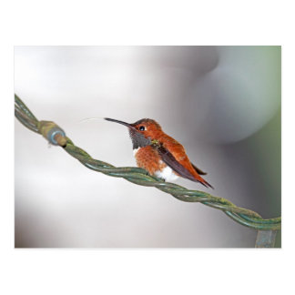Hummingbird Sticking Out Tongue Postcard