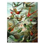 Hummingbird (Trochilidae) by Haeckel Postcard