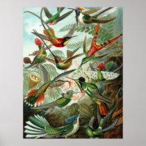 Hummingbird (Trochilidae) by Haeckel Poster