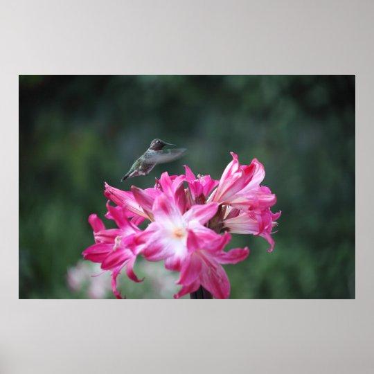 hummingbird with belladonna lilies poster
