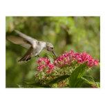 Hummingbirds 105 postcards