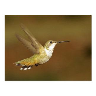 Hummingbirds 146 postcard