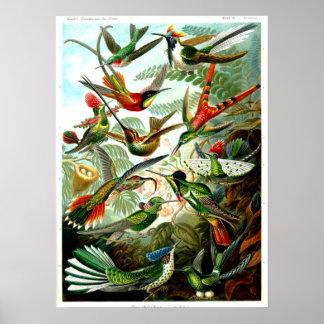 Hummingbirds 1904 by Ernst Haeckel. Poster
