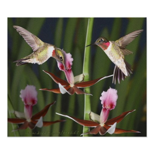 Hummingbirds and Blooms Poster