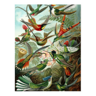Hummingbirds Postcard