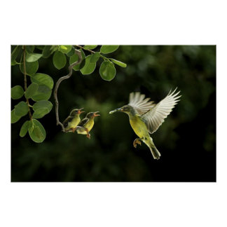 Hummingbirds poster