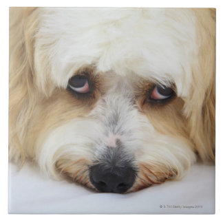 humorous close-up of bichon frise dog ceramic tile