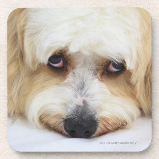 humorous close-up of bichon frise dog coaster