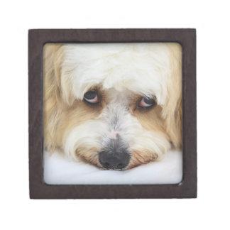 humorous close-up of bichon frise dog keepsake box