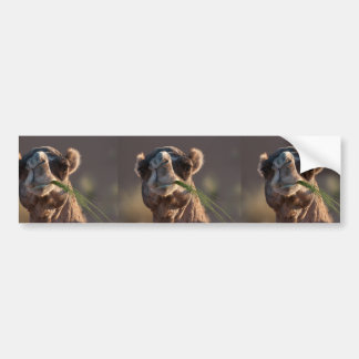 Hump Day Camel Feasting on Green Grass Bumper Sticker