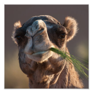 Hump Day Camel Feasting on Green Grass Photo Print