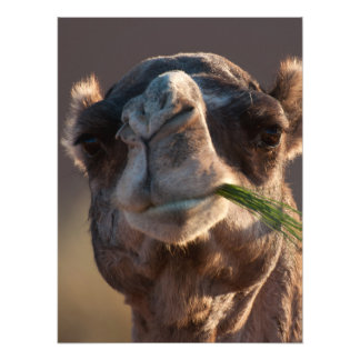 Hump Day Camel Feasting on Green Grass Photographic Print